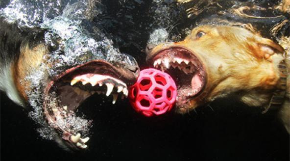 Fotograaf Seth Casteel maakte een serie foto's van honden die onderweg zijn naar een bal onder water.