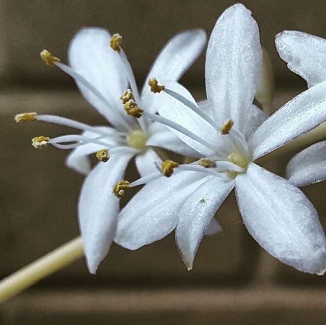 Spiderplant flowers .. super #closeup  #whiteflower #white #flowerporn #flowerstagram #littleflowers #spiderplant