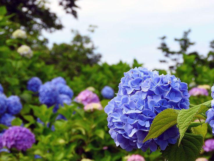 夏前に咲くアジサイを見る【水道山・観音山公園:新潟県】