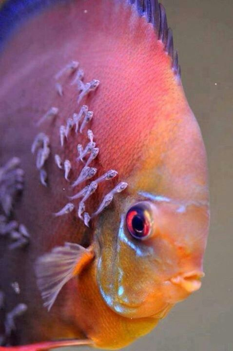 Discus fish carrying fry. They eat the slime coat off the parents . Discus are amazing parents taking turns and flashing from dark to lit when they want a break. The other parent goes dark and takes over.