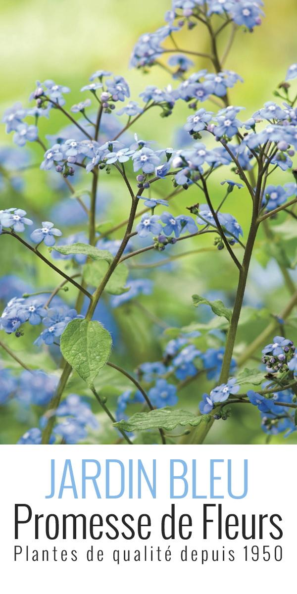 Le Brunnera macrophylla type ou Myosotis du Caucase est une vivace vivant dans les forêts de l'est de l'Europe et du nord-ouest de l'Asie. On le cultive pour ses fleurs légères qui rappellent les myosotis et son port couvre-sol qui forme un épais tapis de feuillage caduc. De mai à juin, de magnifiques fleurs d'un bleu intense apparaissent et sont réunies en panicules (en grappe de forme conique) d'au moins 20 cm de long.