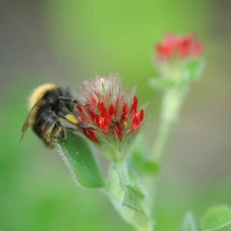 Inkarnaatklaver (Trifolium incarnatum). DE: Inkarnat-Klee. EN: Crimson clover