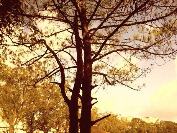 Baguio City. Pine trees.