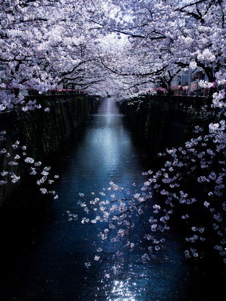 *:. 光道の華 .:* #桜 #CherryBlossom