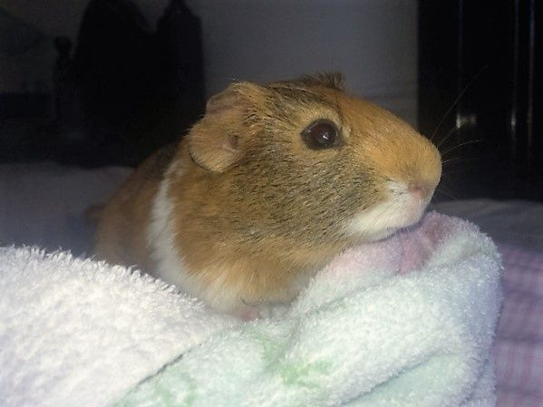 Guinea Pigs for Adoption in Suwanee, Georgia. Male approx 6mos and Cage $40 in the US-Georgia-Atlanta region - www.GuineaPigFinder.com