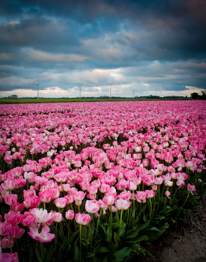 pinkTulips 251 best Tulip Fields images on