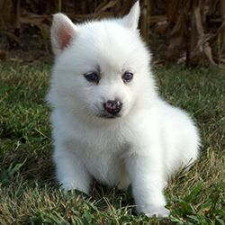 Pomsky puppies for sale | pomeranian husky | buy pomskiesPerfect Pomskies - Tap the pin for the most adorable pawtastic fur baby apparel! You'll love the dog clothes and cat clothes! <3