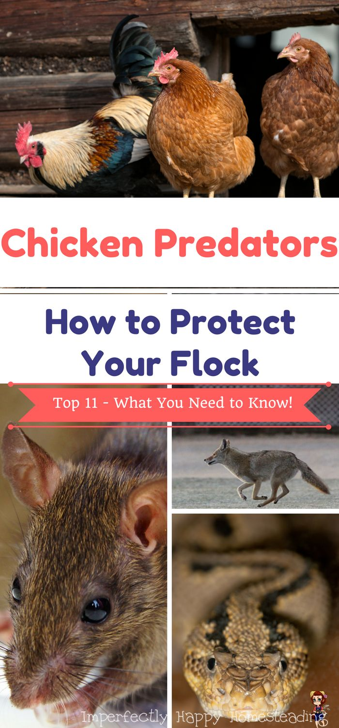 Chicken Predators - How to Protect Your Flock on your homestead.