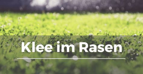 Für einen gesunden und schönen Rasen ist es völlig egal, ob der Klee drei oder vier Blätter hat. Die Ausbreitung von Klee ist ein Zeichen, dass etwas mit dem Zierrasen nicht in Ordnung ist. Wer jetzt nicht richtig und früh genug reagiert, bekommt schnell viel Arbeit mit dem hartnäckigen Unkraut. Inhaltsverzeichnis Warum Klee im Rasen …