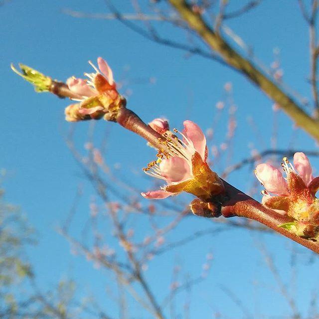Wszyscy wrzucają dziś zdjęcia kwitnących wiśni więc ja dodam moją nektarynkę