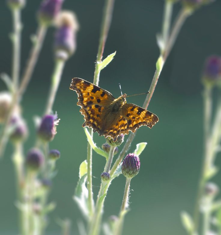 Polygonia c-album - the backlight through the thistle vegetation gives a beautiful color to the photo