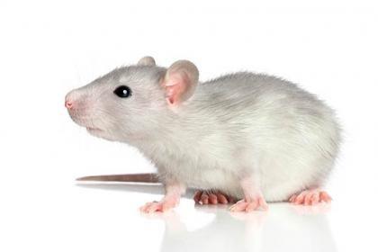 Pretty rat