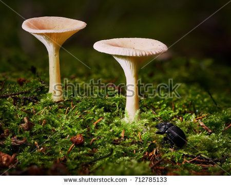 Stock Photo: A beetle with two mushrooms growing in the forest in autumn. -
