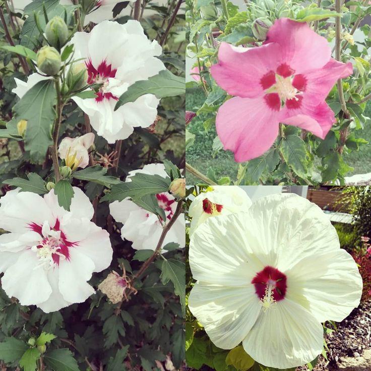 Hibiskus in voller Pracht 😍😍 #hibiskus #blumen #garten #