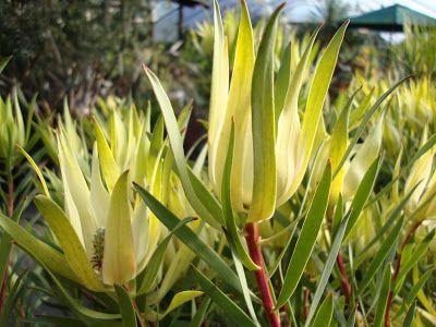 Leucadendron Salignum Yellow