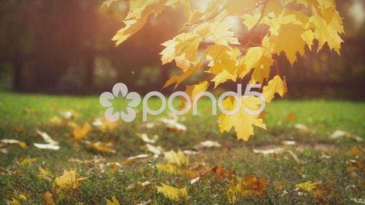 Autumn Leaves - Стоковое видео | by TS_media