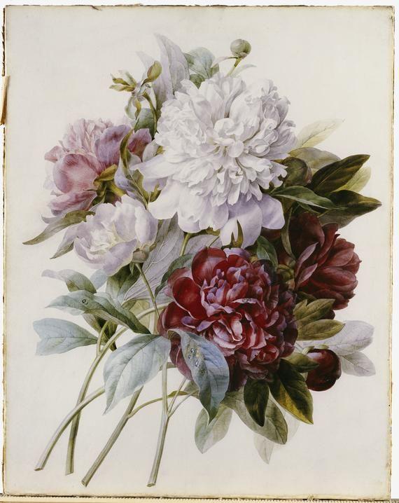 Peonies by Pierre-Joseph Redouté: Joseph Redoute, Pierrejoseph Feared, Flowers Prints, Art Prints, Bouquets, Poster, White Peonies, Joseph Stone Feared, Pink Peonies