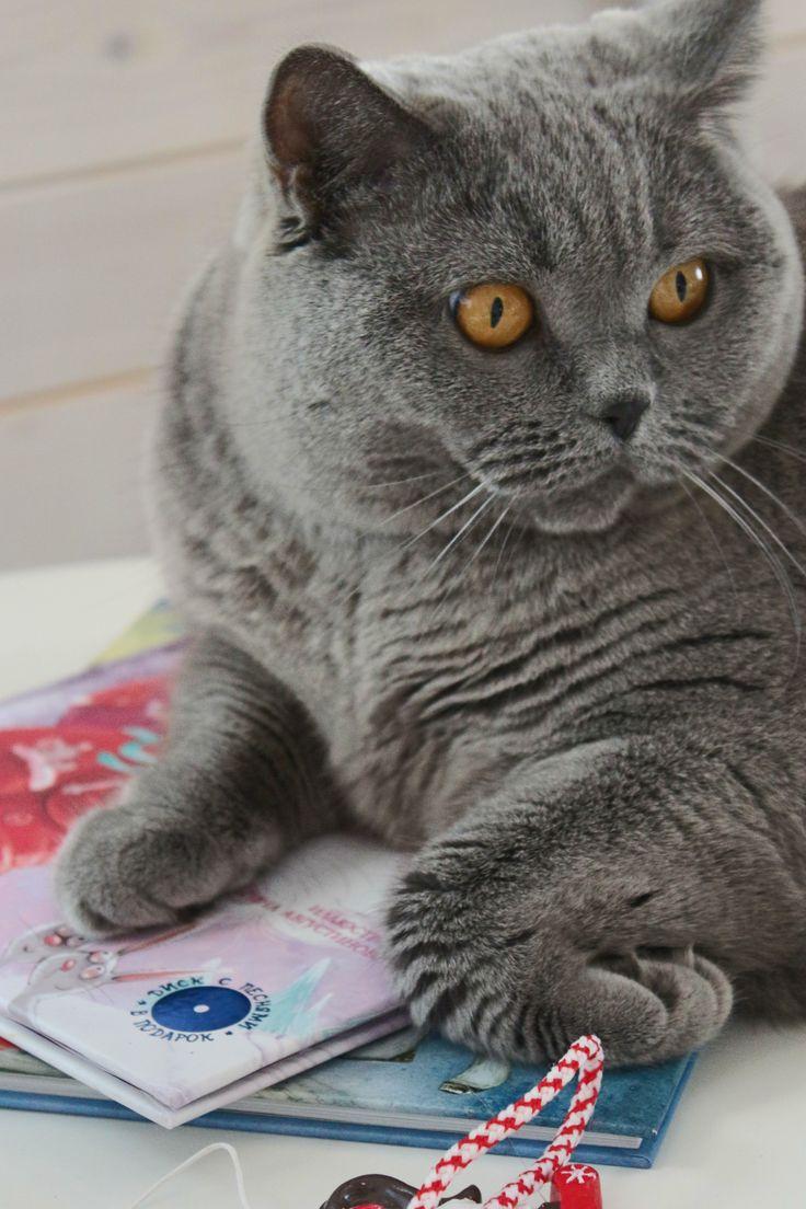 British cat Vasilisa