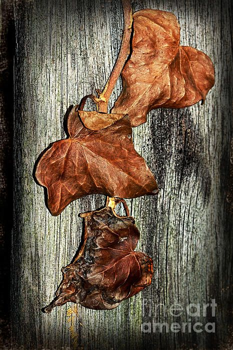 #POISONED #IVY by #Kaye #Menner #Photography Quality Prints Cards and more at: http://kaye-menner.artistwebsites.com/featured/poisoned-ivy-by-kaye-menner-kaye-menner.html
