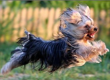 164 best Yorkies- Funny and cute photos images on ...