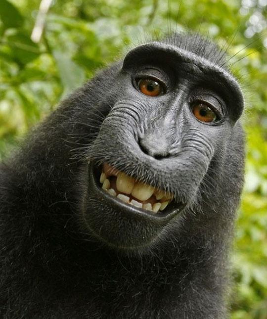 검정짧은꼬리 원숭이, 얼짱 각도 셀카 `살인미소`