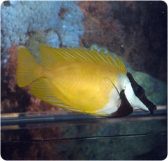 Foxface Rabbitfish, Foxface Lo - Siganus (Lo) vulpinus