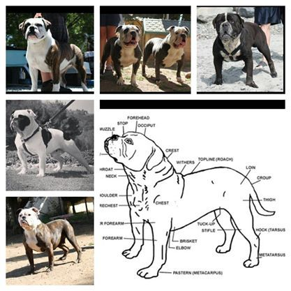 Olde English Bulldogge conformation and standards