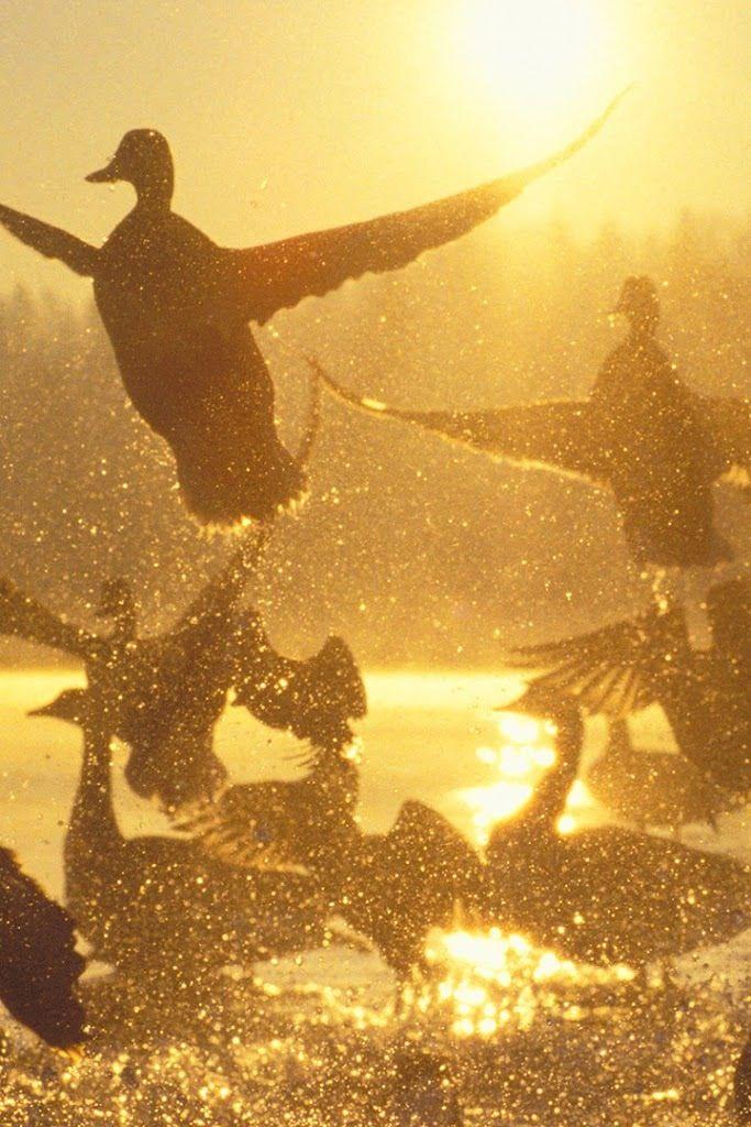 """Ducks: """"Golden Flight."""""""