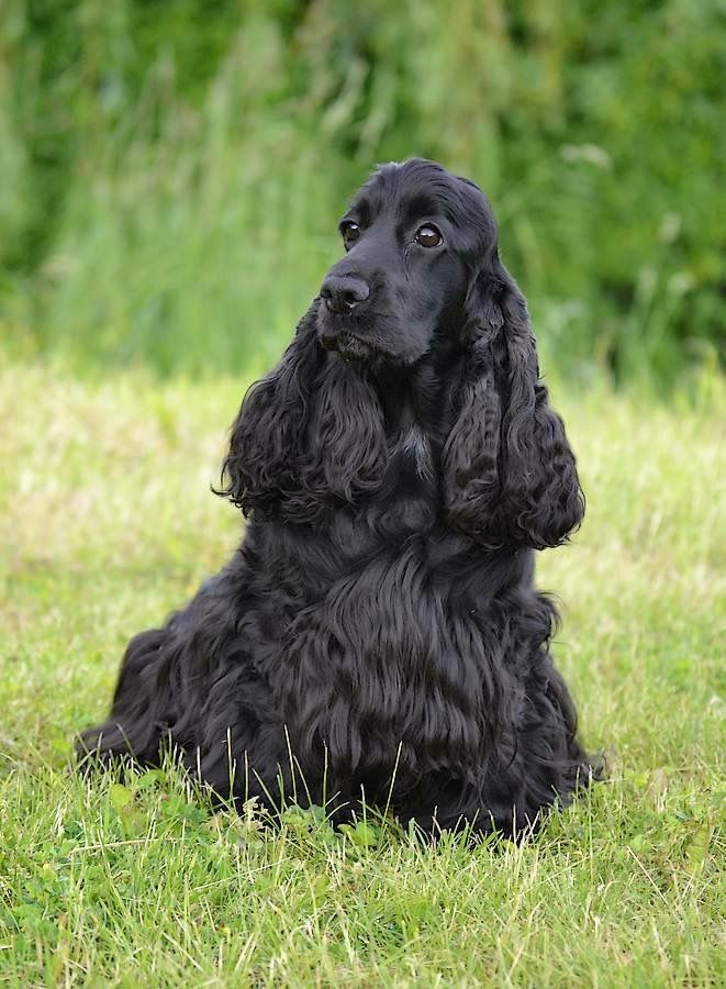 Pin By Lois Baisch On Dogs English Cocker Spaniel Cocker Spaniel Dog Lovers