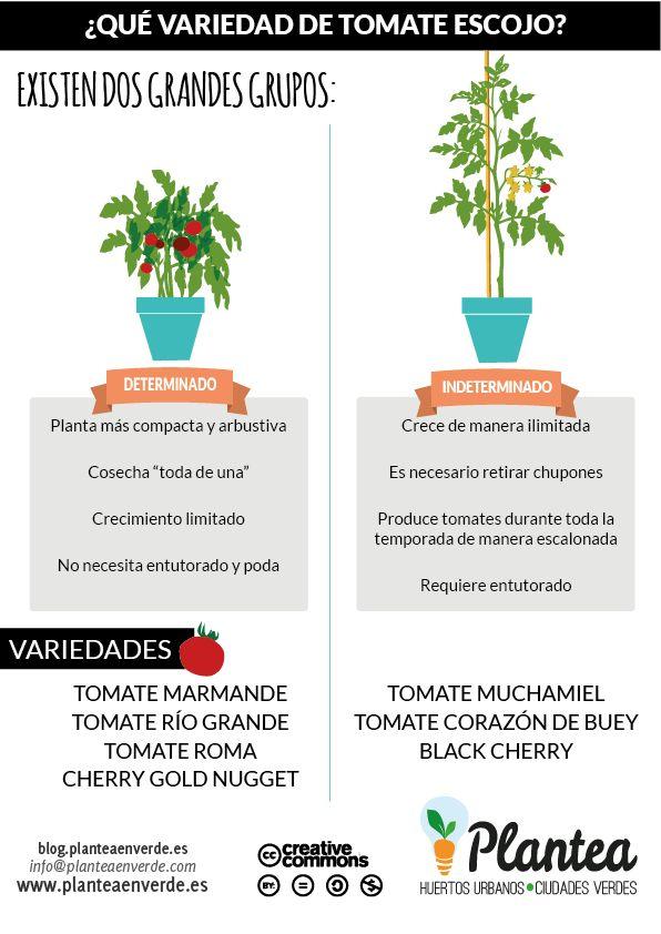 Guía paso a paso: Cómo cultivar tomates en casa El rey del huerto, el rey de las ensaladas, tremendamente saludable y uno de los cultivos más complicados a los que…