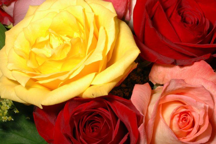 Ecco una utile guida per sapere quando e come #potare le #rose nel modo corretto!