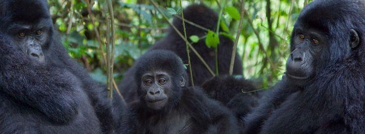 """OUGANDA : L'Ouganda, """"perle de l'Afrique"""", contrée luxuriante au cœur du continent noir. Ici, on défie les eaux tumultueuses du Nil Blanc, on fait l'ascension de volcans éteints, on se perd dans d'immenses lacs aux eaux miroitantes. Véritable paradis terrestre, cette terre d'abondance accueille l'une des faunes les plus riches du continent. Ses parcs nationaux abondent de buffles, girafes, éléphants, zèbres, crocodiles, antilopes, impalas et hippopotames."""