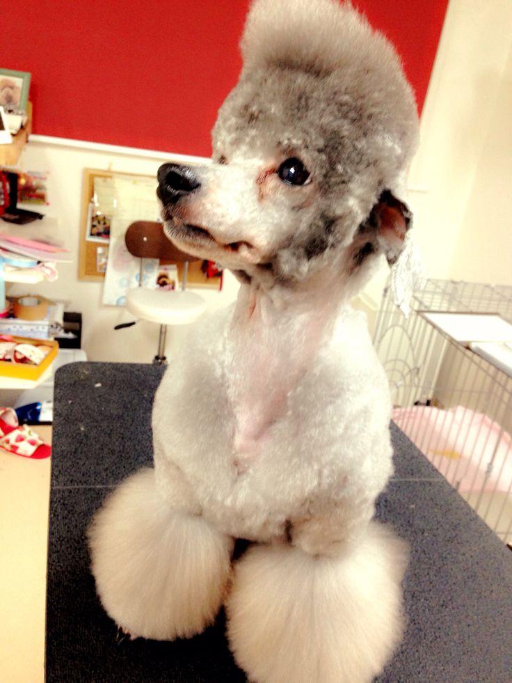 It looks like Elvis Presley;) #Presley #poodle #barboncino