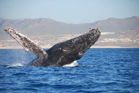 #Ballenas #PuertoVallarta #Jorobada #Yubarta #Vallarta #PtoVallarta #MegustaVallarta #Whale www.graylinevallarta.com #puertoVallarta #Adventure #Adventuretour #Bucketlist #Travel #Mexico #Jalisco