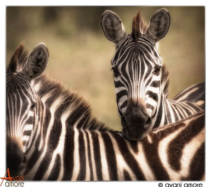 #Zebra of the #MasaiMara, Kenya.  Masters at watching every move I make.  A mix of curiosity and caution.  Such Beauty.  Photo by #avaniamore  www.avaniamore.com