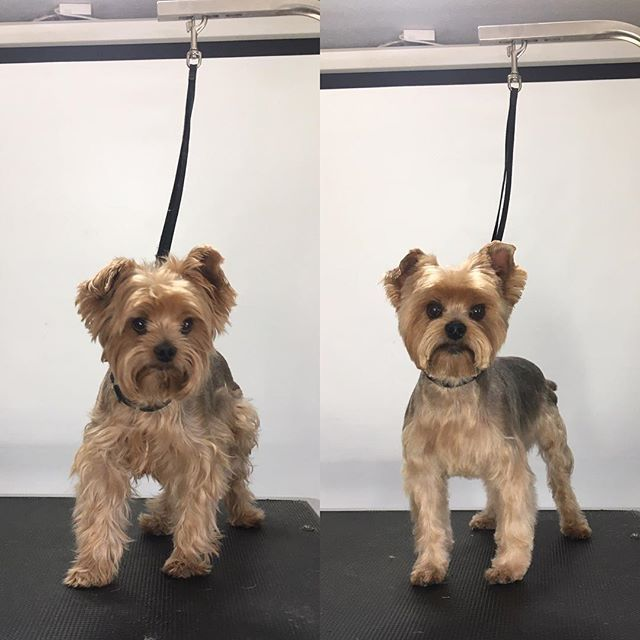 Teddy Terasgrooming Yorkshireterrier Yorkie Handsomeman Picoftheday Beforeandafter Groomer Smallbuis Dog Grooming Styles Dog Grooming Yorkshire Terrier