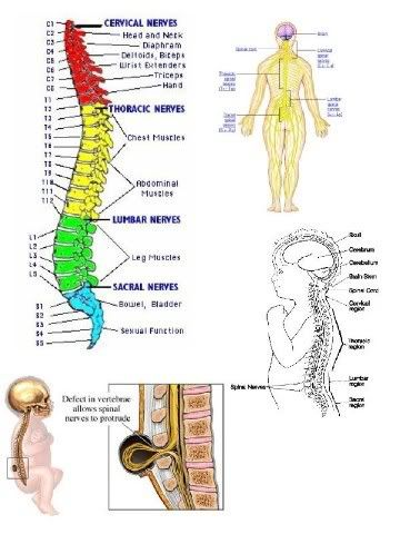 the history on spina bifida spinal cord Spinal cord and surrounding bones  what is spina bifida  for families where there is a history of spina bifida, a prescription dose.