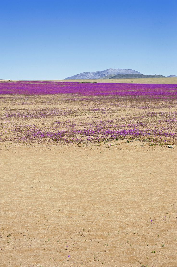 Atacama Desert in Bloom,  Chile