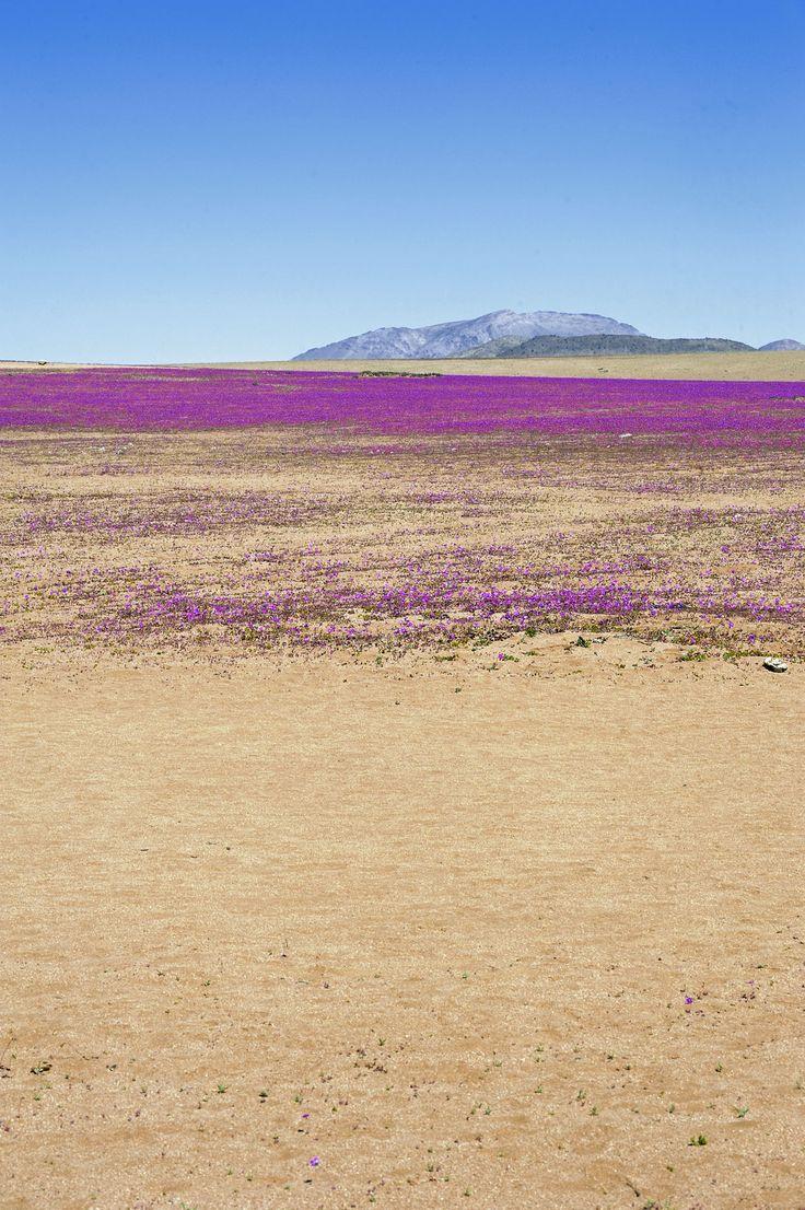 Atacama Desert in Bloom, Chile. Desierto florido. Chile Flora