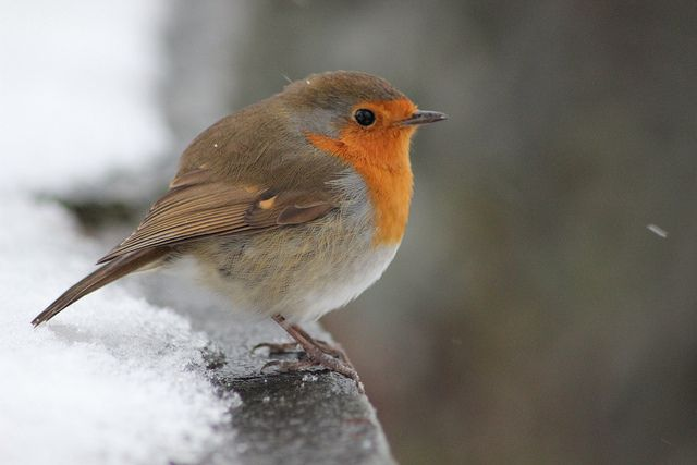 Robin in the snow!