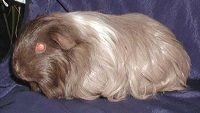 Sheltie (Silkie) Bardzo długie proste, gładkie włosy układające się do tyłu, na pyszczku krótkie. Świnka morska Sheltie Od peruwianek różni się tym, że nie posiada żadnych zawirowań w futerku. Genetycznie jest to American o długich włosach.