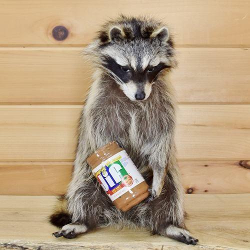 Raccoon Taxidermy for Sale