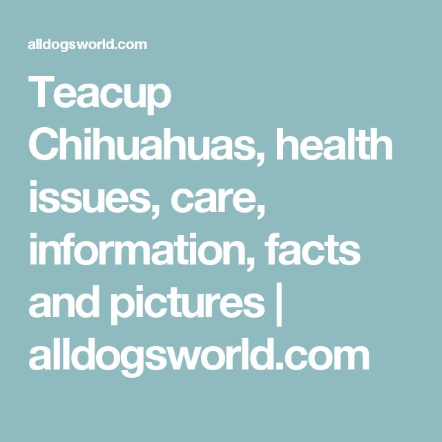 Teacup Chihuahuas, health issues, care, information, facts and pictures | alldogsworld.com