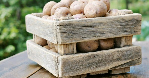 Один известный ученый сказал о картофеле, что выращивать его, все равно, что позволить расти трем колосьям на месте одного. Это растение действительно неприхотливо и весьма урожайно.