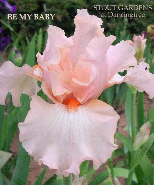 BE MY BABY, pink border bearded iris from Paul Black, available at Stout Iris Gardens at Dancingtree.