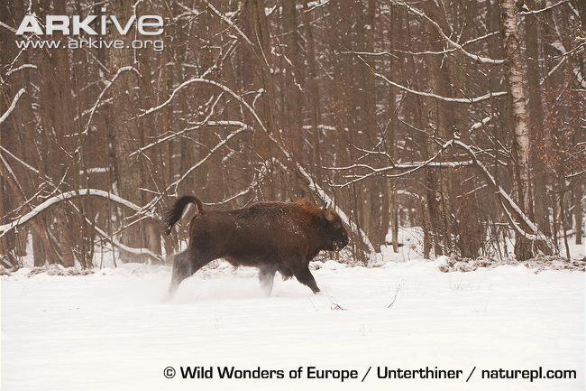 European bison running