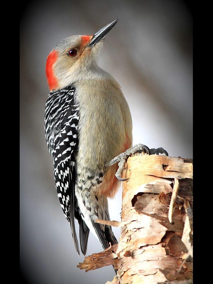 Red Bellied Woodpecker , southern Canada , northeastern