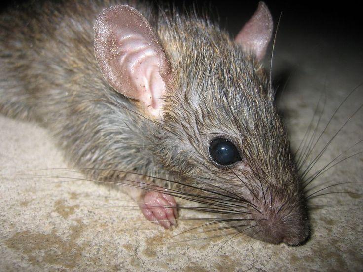 Roof Rats | Roof Rat