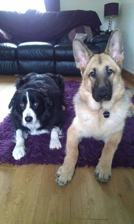 Border Collie and German Shepherd