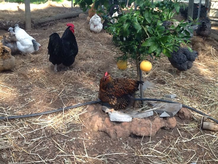 Black Australorp Rooster and Gold Laced Wyandotte Hen